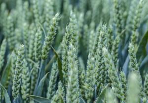 Насіння озимої пшениці Saaten Union Скаген