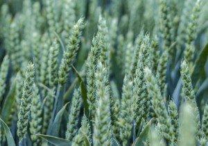 Скаген, озима пшениця