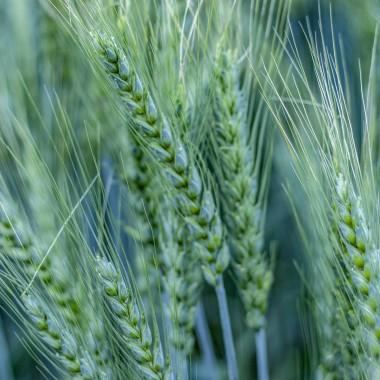 Емеріно, насіння пшениці