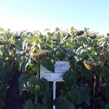 Насіння високоврожайного гібрида соняшнику Evrosem Авалон