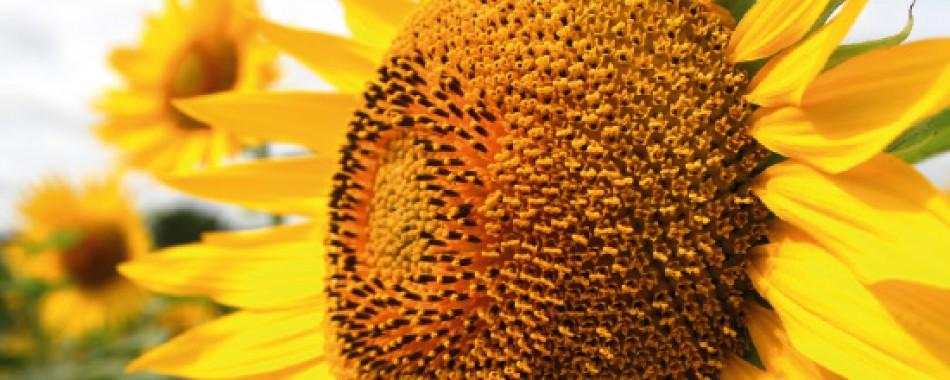 Насіння середньораннього соняшнику Euralis Semences Андромеда ЄС Пончо
