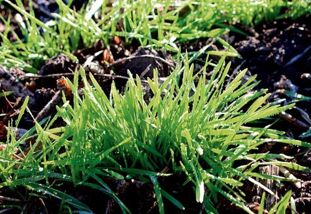 Необходимость применения микроудобрений при обработке семян пшеницы и ячменя