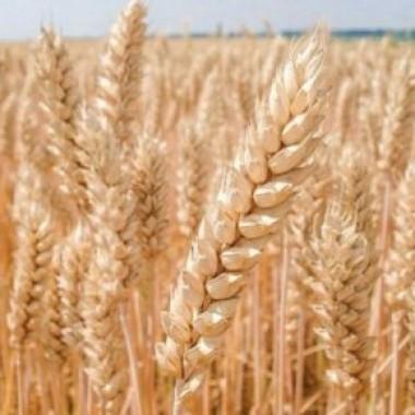 Насіння озимої пшениці інтенсивного типу ІФРГНАН Богдана