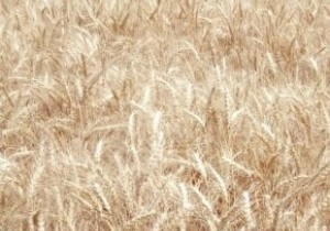 Нота одеська, озима пшениця