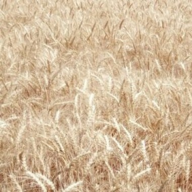 Насіння озимої пшениці української селекції СГІНЦНС Нота одеська Еліта