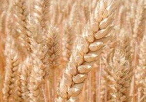 Насіння пшениці інтенсивного типу ІФРГНАН Богдана Еліта