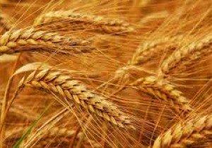 Манера одеська, озима пшениця