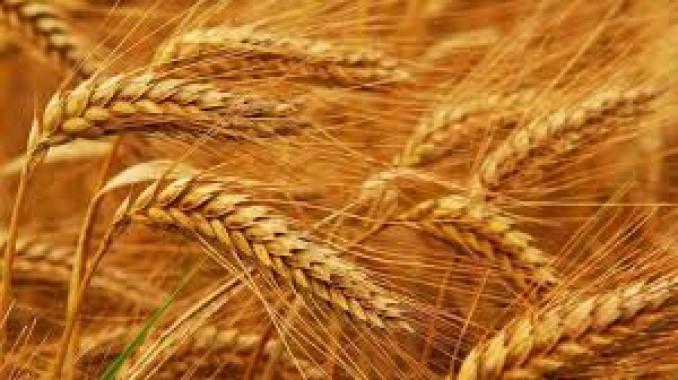 Манера одеська, насіння пшениці