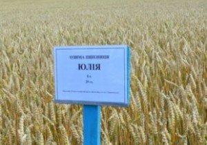 Юлія, озима пшениця
