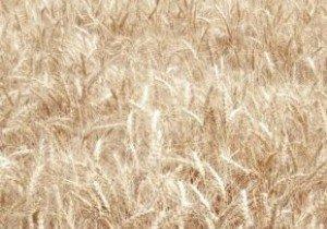 Насіння озимої пшениці СГІНЦНС Нота одеська
