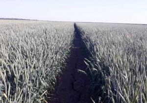 Насіння озимої пшениці сорт Saaten Union Фелікс