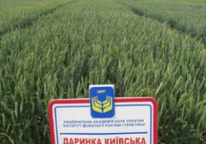 Насіння озимої пшениці ІФРГНАН Даринка Київська