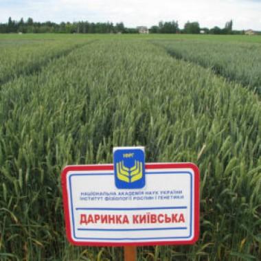 Насіння середньоранньої озимої пшениці ІФРГНАН Даринка Київська Еліта