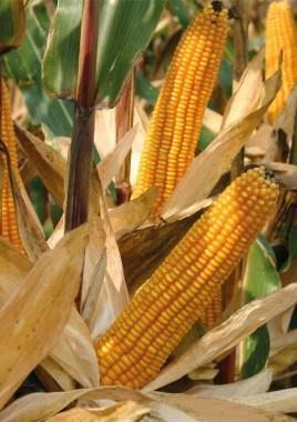 Насіння кремнисто-зубовидної кукурудзи Saatbau Оділо