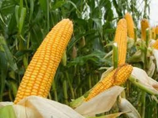 Насіння середньопізньої кукурудзи Saaten Union Драва 404