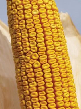 Насіння гібриду кукурудзи Viterra Seed Зум 405