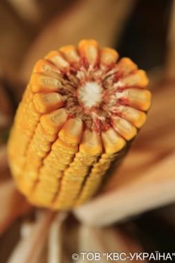 Насіння кукурудзи KWS КВС 2370