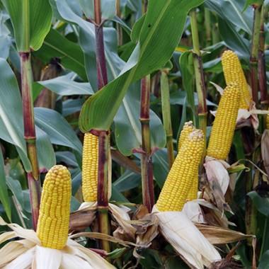 Середньостиглий гібрид кукурудзи Viterra Seed ОС 378
