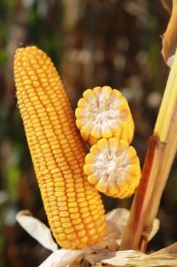 Насіння гібриду кукурудзи KWS Амарос (ФАО 230)