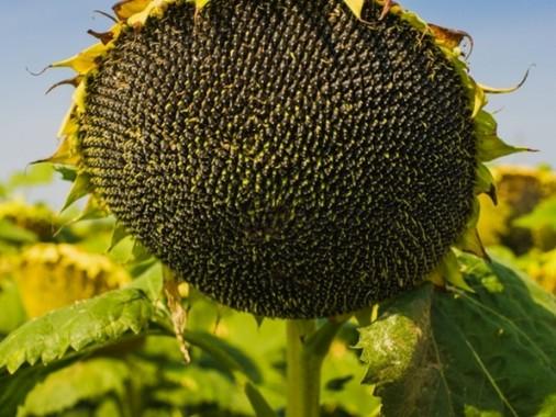 Насіння середньопізнього соняшнику Syngenta Естрада Круізер