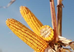 Насіння кукурудзи KWS КВС Кавалер NEW