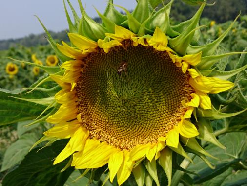 Насіння соняшнику Syngenta Коломби Круізер (середньоранній сорт)