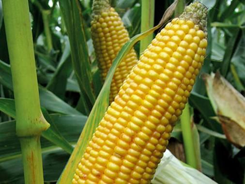 Простий гібрид кукурудзи Viterra Seed OСCK396