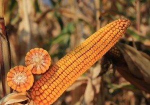 Насіння кукурудзи KWS Келтікус