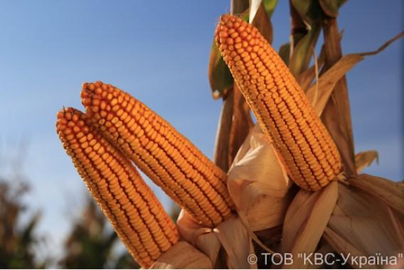 Насіння кукурудзи KWS Кінемас