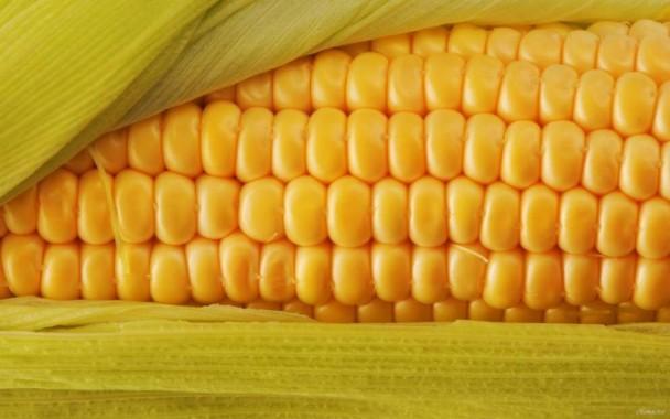 Трьохлінійний гібрид кукурудзи Saaten Union Зунергі