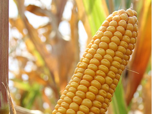 Насіння кремнисто-зубовидної кукурудзи Saatbau Норіко