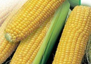 Насіння кукурудзи Saaten Union Зум 0307