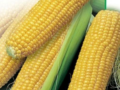Насіння середньостиглої кукурудзи Saaten Union Зум 0307