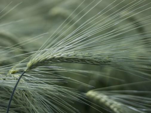 Луран, насіння ячменю