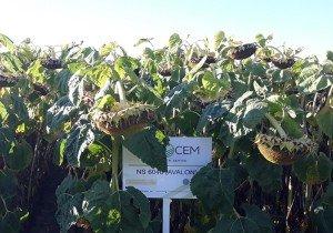 Насіння високоврожайного соняшнику Evrosem Авалон