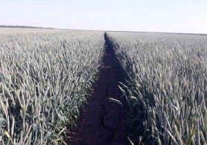 Насіння озимої пшениці сорт Фелікс