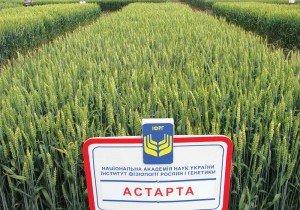 Насіння пшениці озимої ІФРГНАН Астарта Еліта