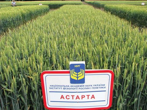 Насіння м'якої пшениці озимої ІФРГНАН Астарта