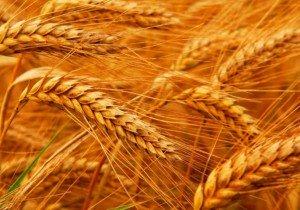 Насіння ранньої пшениці СГІНЦНС Перспектива одеська Еліта