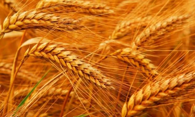Насіння раннього сорту м'якої озимої пшениці СГІНЦНС Перспектива одеська Еліта